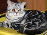 Кошки, котята Шотландская короткошерстная, цена 800 Грн., Фото