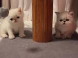 Кішки, кошенята Екзотична короткошерста, ціна 800 Грн., Фото