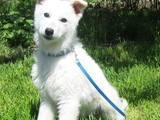 Собаки, щенки Белая Швейцарская овчарка, цена 3000 Грн., Фото