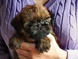 Собаки, щенки Бельгийский гриффон, цена 7000 Грн., Фото