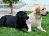 Собаки, щенята Лабрадор ретрівер, ціна 3000 Грн., Фото