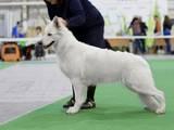 Собаки, щенки Белая Швейцарская овчарка, цена 10 Грн., Фото