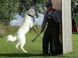 Собаки, щенята Біла Швейцарська вівчарка, ціна 10 Грн., Фото