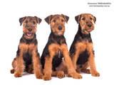 Собаки, щенята Вельштер'єр, ціна 8500 Грн., Фото