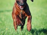 Собаки, щенки Баварская гончая, цена 15000 Грн., Фото