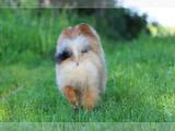 Собаки, щенята Карликовий шпіц, ціна 2000 Грн., Фото