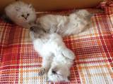 Кошки, котята Невская маскарадная, цена 2500 Грн., Фото