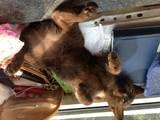 Кошки, котята Бурма, цена 4000 Грн., Фото