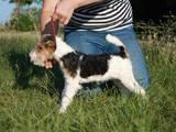Собаки, щенята Жорсткошерстий фокстер'єр, ціна 5000 Грн., Фото