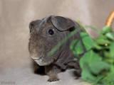 Грызуны Морские свинки, цена 350 Грн., Фото