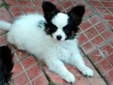 Собаки, щенята Папільон, ціна 4000 Грн., Фото