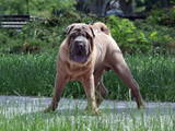 Собаки, щенята Шарпей, ціна 4500 Грн., Фото
