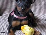 Собаки, щенки Карликовый пинчер, цена 5000 Грн., Фото