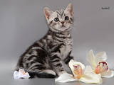 Кішки, кошенята Американська короткошерста, ціна 8000 Грн., Фото