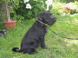 Собаки, щенки Цвергшнауцер, цена 2800 Грн., Фото