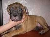 Собаки, щенята Бульмастиф, ціна 5500 Грн., Фото