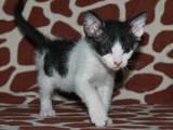 Кошки, котята Донской сфинкс, цена 250 Грн., Фото