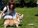 Собаки, щенята Вельш коргі пемброк, ціна 4800 Грн., Фото