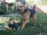 Собаки, щенки Чау-чау, цена 350 Грн., Фото