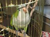 Попугаи и птицы Попугаи, цена 1200 Грн., Фото