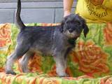 Собаки, щенки Миттельшнауцер, цена 3000 Грн., Фото