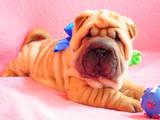 Собаки, щенки Шарпей, цена 5000 Грн., Фото