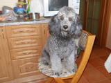 Собаки, щенята Малий пудель, Фото