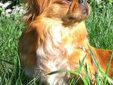 Собаки, щенята Пекінес, ціна 550 Грн., Фото