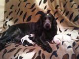 Собаки, щенята Російський спаніель, ціна 2600 Грн., Фото