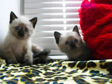 Кошки, котята Тайская, цена 100 Грн., Фото