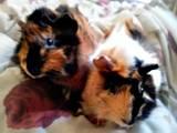 Гризуни Морські свинки, ціна 80 Грн., Фото