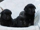 Собаки, щенки Лабрадор ретривер, цена 3800 Грн., Фото