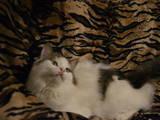Кішки, кошенята Турецька Ангора, ціна 5 Грн., Фото