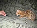 Кошки, котята Бенгальская, цена 12345 Грн., Фото