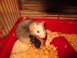 Грызуны Домашние крысы, цена 15 Грн., Фото