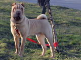 Собаки, щенята Стаффордширський бультер'єр, ціна 2.50 Грн., Фото