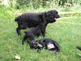 Собаки, щенята Американський коккер, ціна 800 Грн., Фото