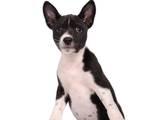 Собаки, щенята Басенджі, ціна 7000 Грн., Фото