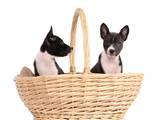 Собаки, щенки Басенджи, цена 7000 Грн., Фото