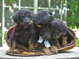 Собаки, щенки Ховаварт, цена 8000 Грн., Фото