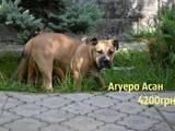 Собаки, щенки Мальоркский бульдог (Ка Де Бо), цена 3700 Грн., Фото