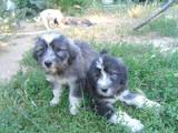Собаки, щенки Южнорусская овчарка, цена 800 Грн., Фото