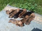 Собаки, щенки Гладкошерстная кроличья такса, цена 700 Грн., Фото
