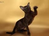 Кошки, котята Бурма, цена 11000 Грн., Фото