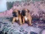 Собаки, щенки Боксер, цена 1000 Грн., Фото
