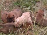 Собаки, щенята Боксер, ціна 1200 Грн., Фото