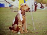 Собаки, щенки Эрдельтерьер, Фото
