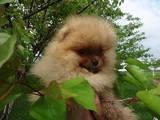 Собаки, щенята Карликовий шпіц, ціна 13800 Грн., Фото