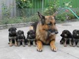 Собаки, щенки Восточно-Европейская овчарка, цена 600 Грн., Фото