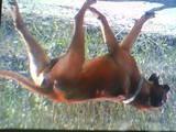 Собаки, щенята Родезійського ріджбек, ціна 10 Грн., Фото